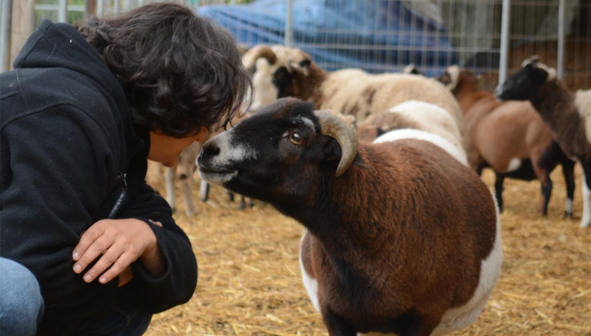 Crowdfunding für Seniorenschafe und einen Tierrechtsroman